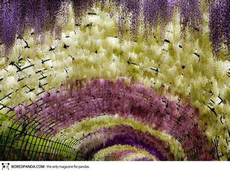 kawachi fuji garden wisteria flower tunnel kawachi fuji garden japan