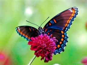 mariposas pics galer 237 a de im 225 genes mariposas de colores