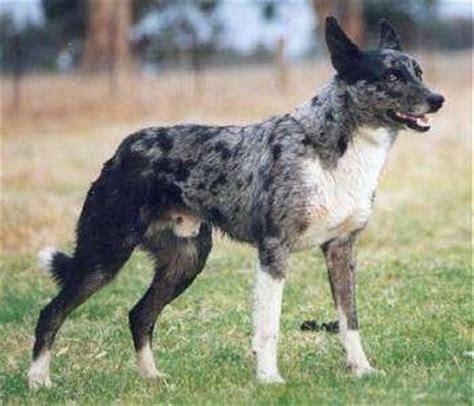 koolie puppies australian koolie breed information and pictures