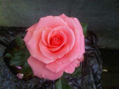 Pot Gantung Mawar 01 P tanaman mawar jual tanaman hias