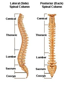 5 sections of the spinal column spinal anatomy vertebral column