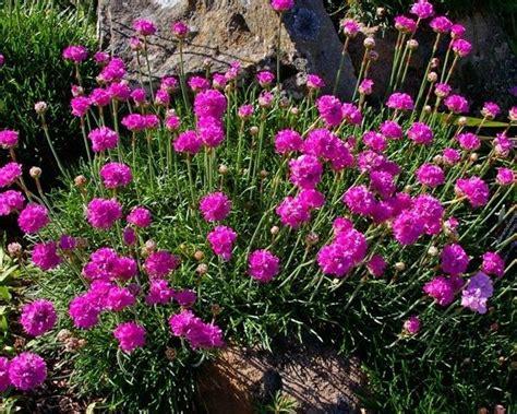 arbusti fioriti perenni fiori perenni piante perenni coltivare fiori perenni