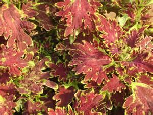 coleus plants smallhomegardens2012