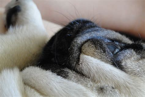 pug about cuddly and pug about pug