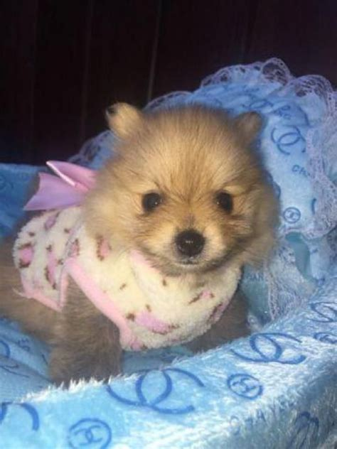 teacup pomeranian puppies for sale in indiana best pomeranian ideas on