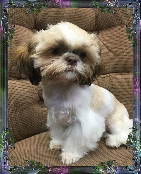 teacup shih tzu adults shih tzu imperials pictures to pin on pinsdaddy
