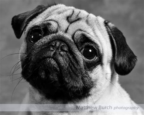 pug photography stan the pug matthew burch photography