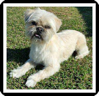 shih tzu rescue southern california winchester ca shih tzu pug mix meet hank a for adoption