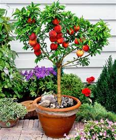 Patio Apple Trees by Dwarf Bonanza Peach Tree Life Is A Song Pinterest