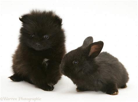 baby black pomeranian pets black pomeranian pup and black baby rabbit photo wp38344