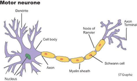 motor nerone disease neurone pictures to pin on pinsdaddy