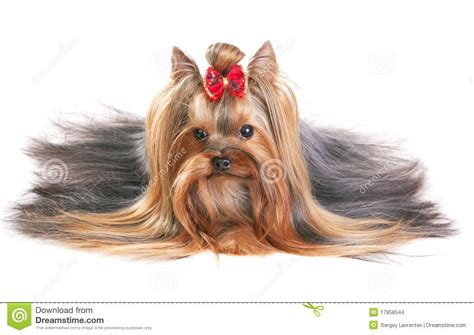 show pictures of a cotton coat yorkshire yorkshire terrier show coat yorkshire terrier stock images