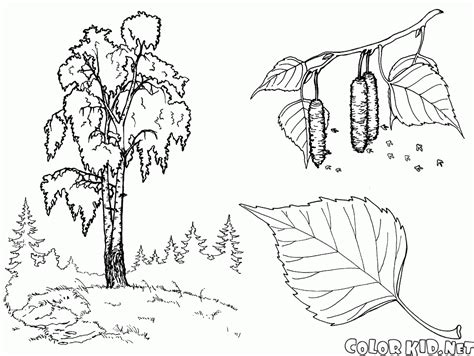 birch tree coloring page coloring page trees