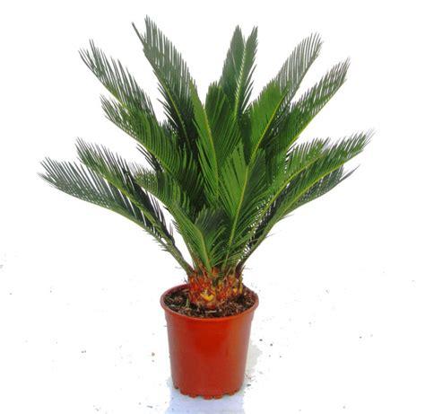 cycas revoluta kaufen innenarchitektur zimmerpflanzen kaufen zimmerpflanzen
