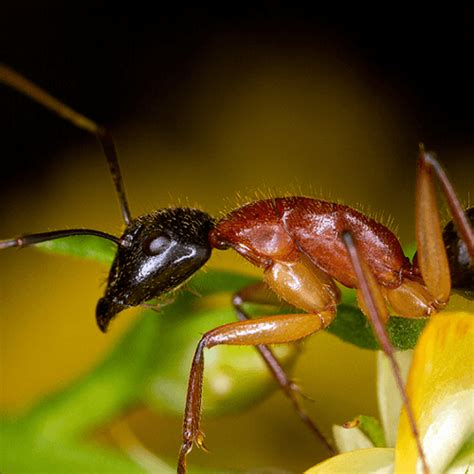 how to get rid of sugar ants in the house how to get rid of sugar ants how to get rid of stuff