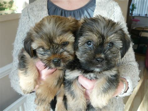 shorkie puppies for sale pictures of shorkie tzu breeds picture