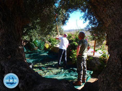 wann werden oliven geerntet winterwetter auf kreta archives zorbas island apartments
