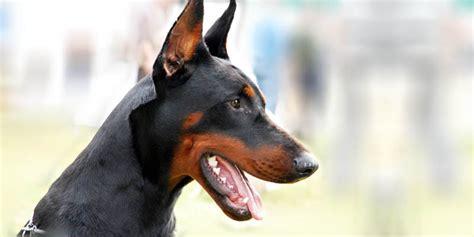 rottweiler in appartamento al via il corso per proprietari di cani varese polis