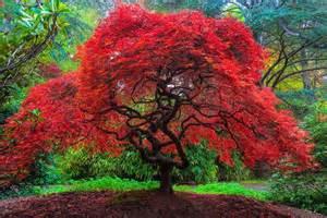 japanese maple kubota gardens seattle washington los