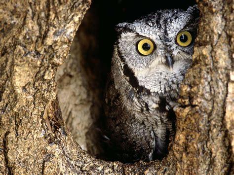 owl tree owl owls wallpaper 31450187 fanpop