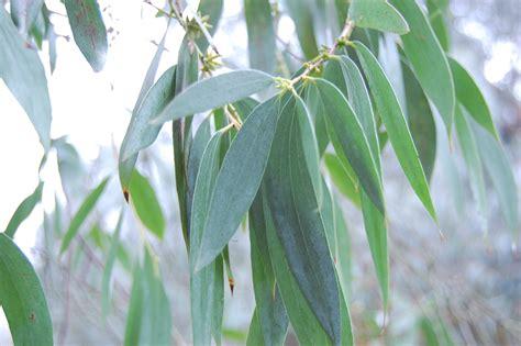 eucalyptus stellulata landscape architect s pages