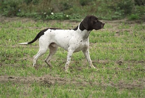 pointers dogs pointing breed of the week the pointer