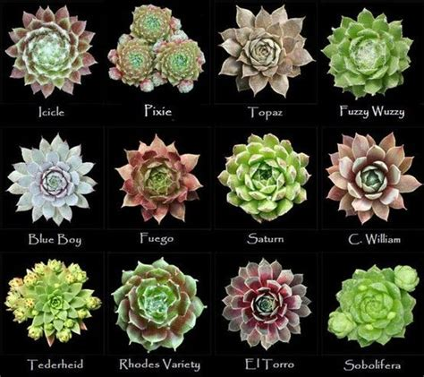 assorted types of succulents 6 flower colors and names