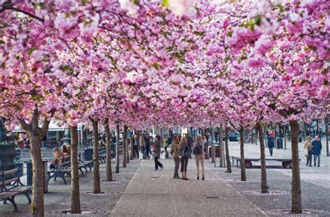 significato dei fiori di ciliegio per i giapponesi il quotidiano in classe fiori di ciliegio non
