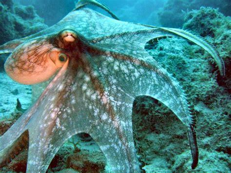 octopus l invertebrate notes