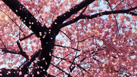 wallpaper animasi japan cherry blossom desktop backgrounds wallpaper cave