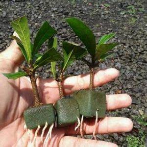 Nature Stek Pohon 6 cara menanam jambu air dengan stek pucuk ilmubudidaya