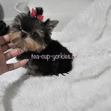 betty s teacup yorkies betty s teacup yorkies search pets yorkies and search