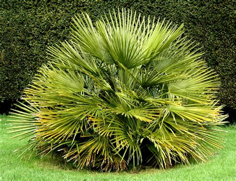 Chamaerops Excelsa Taille Adulte by Chamaerops Humilis Planter Et Cultiver Ooreka