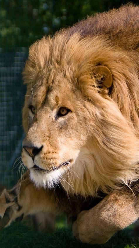 imagenes de leones juntos para perfil whatsapp fondos para whatsapp de leones im 225 genes wallpappers