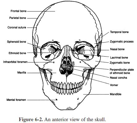 anatomy coloring book worksheets heres our cranium and our jaw skeletal system