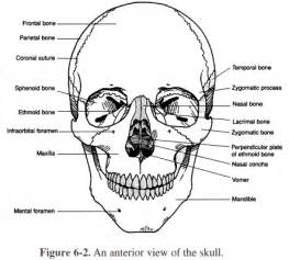 Heres Our Cranium And Our Jaw Skeletal System Skull Coloring Pages Anatomy
