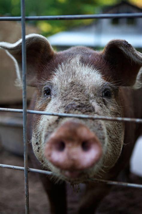 raising backyard pigs raising backyard pigs itty bitty impact