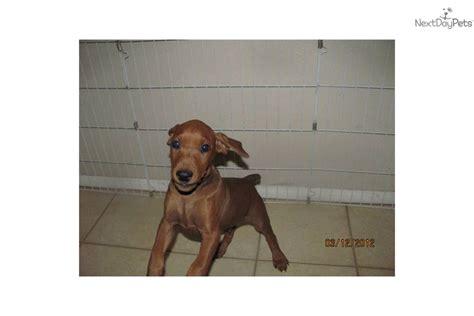 german pinscher puppies for sale german pinscher puppy for sale near los angeles california 352875d4 71d1