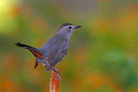 smithsonian science news urban songbirds adjust melodies