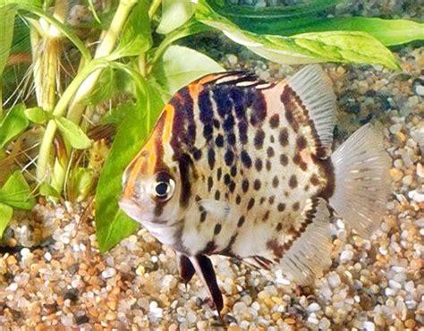 Harga Pakan Udang Ruby ini dia ikan hias ruby yang cantik serta mudah