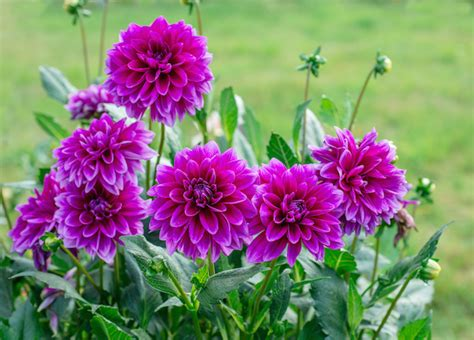 dahlia fiore dahlia flower meaning flower meaning