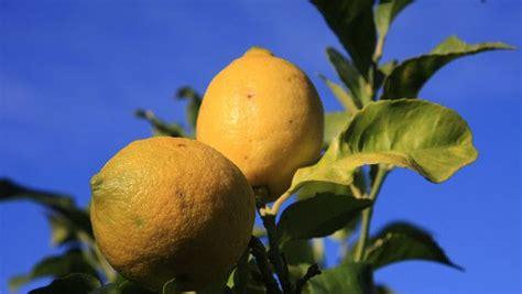 coltivare i limoni in vaso come coltivare limoni agrumi in vaso fai da te