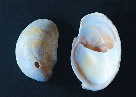 what are slipper shells slipper shell the sea mental retreat