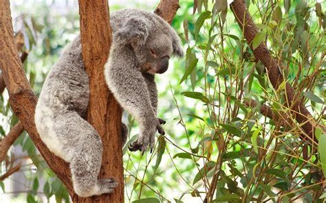 aus seriã s curiosidades animais coalas