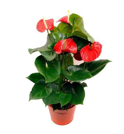 manda fiori pianta di anthurium