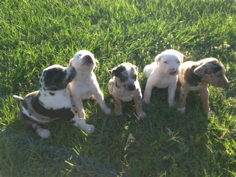 catahoula puppies for sale in florida catahoula leopard puppies for sale florida breeds picture