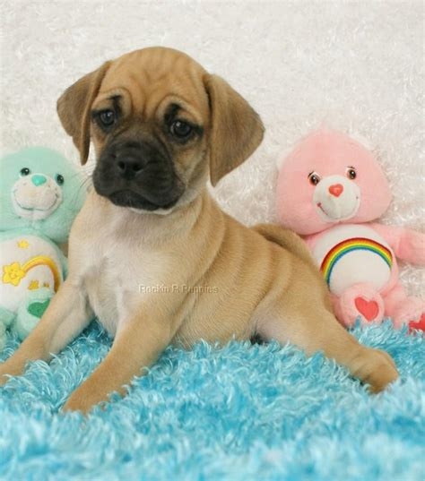 nj pug breeders puggle pictures and photos puggle pics 3 breeds picture