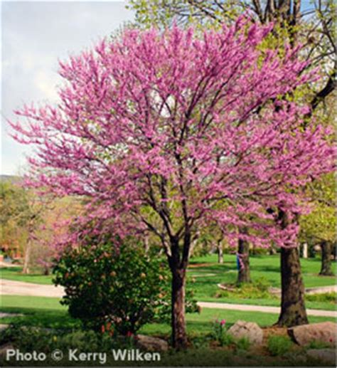 buy affordable eastern redbud trees at our online nursery
