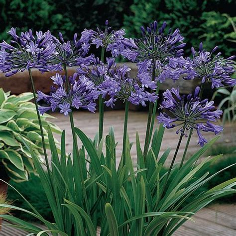 top 28 soil for agapanthus agapanthus plant growing grow plants gardening tips agapanthus