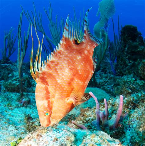 hogfish images file hogfish jpg wikimedia commons